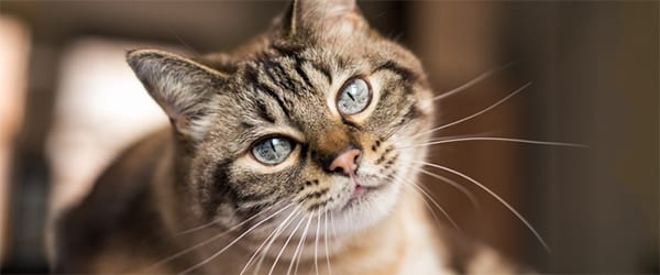 Tabby cat with blue eyes gives a sweet look to the camera